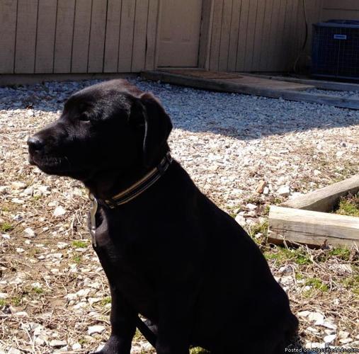 100% British Labradors Grandparents imported from UK International Champion Bloodlines