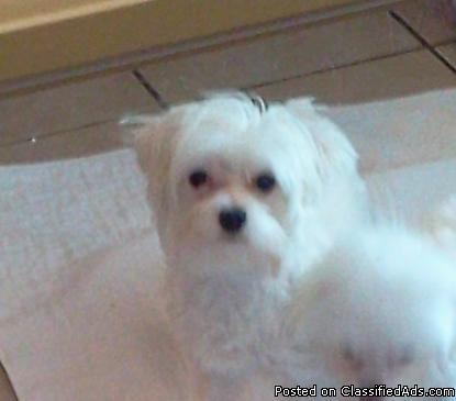 11 Month Old CKC Male Maltese Puppy