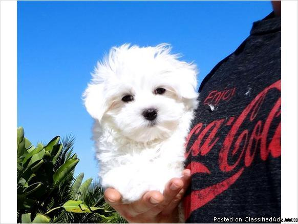 Absolutely Adorable Maltese Puppy 4 Sale