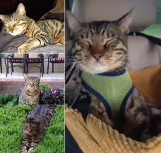 Adopt Bengal adult male