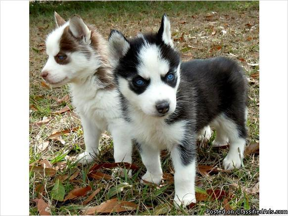 Affectionate Siberian Husky puppies text us at 908-484-6974