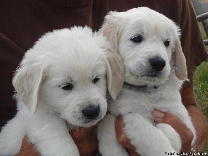 AKC Golden Retriever Puppies - White English Cream - Price: $1500