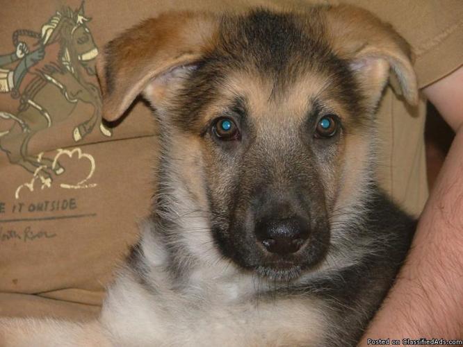 AKC Registered German Shepherd Puppy (male) - Price: $200