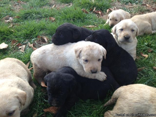 AKC Registered Labrador Retriever Puppies For Sale - Price: $250