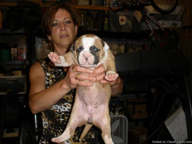 AMERICAN BULLDOG PUPPIES - Price: $800