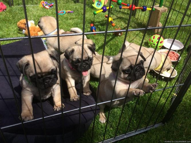 Black/Fawn Pug puppies ready.
