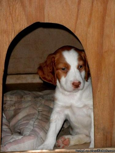 Brittany Puppies - Price: $400
