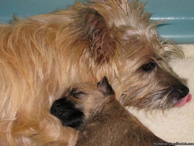 Cairn Terrier Puppy - Price: 600  for sale in Poughkeepsie, Arkansas