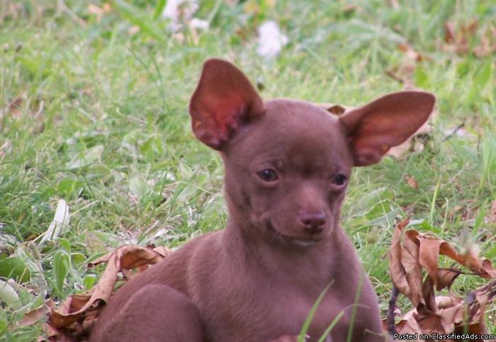 Chihuahua - Price: $300