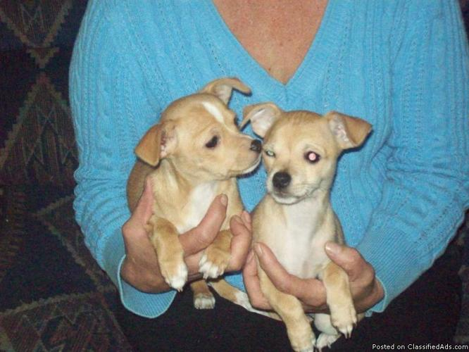 Chihuahua puppies for sale - Price: $350.00 each