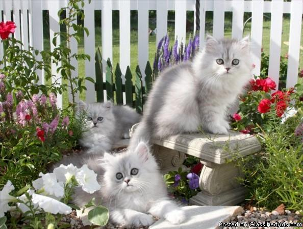 Chinchilla Persian Kittens for sale - Price: 700 for sale in Snyder