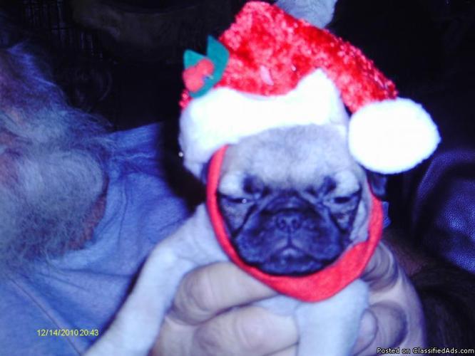 christmas pugs - Price: 250.00