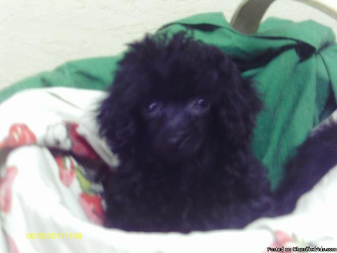 ckc poodle puppy - Price: 200.00