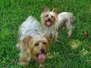 CKC reg male Yorkie 1o mths old - Price: $200