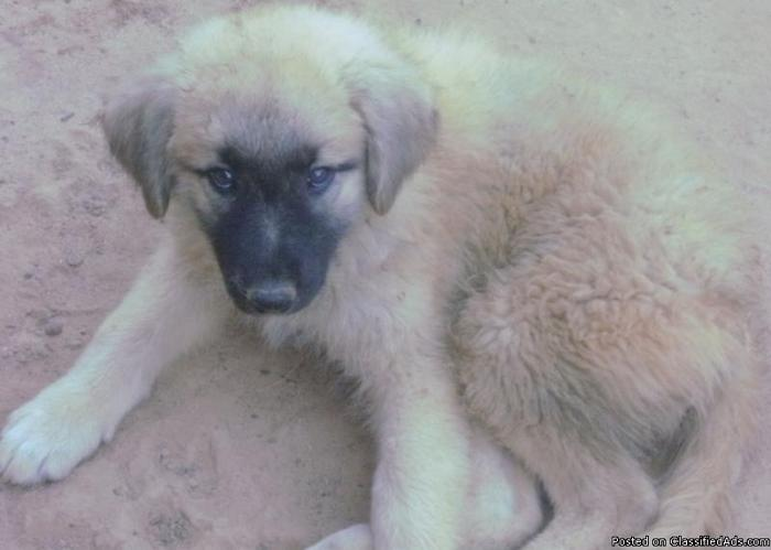 CKC Registered Anatolian Shepherds- AKC Registered Adults - Price: $300.00