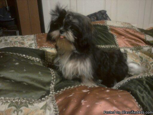 ckc shih tzu puppy female - Price: 275