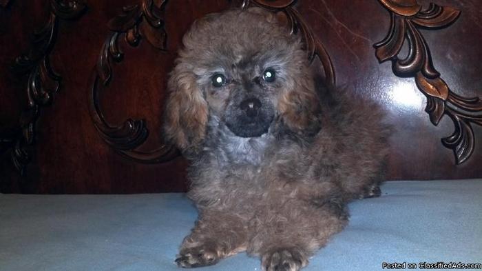 ckc toy poodle - Price: 350