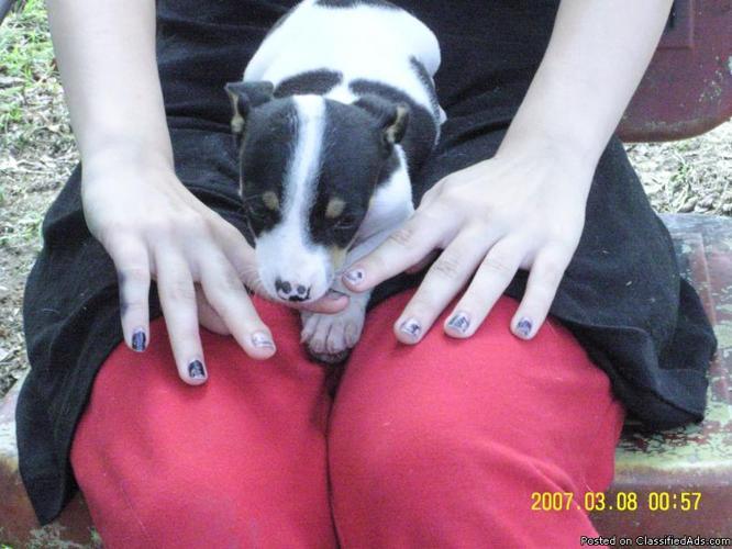 Dodger Male Tri CKC Rat Terrier Mini - Price: 300.00