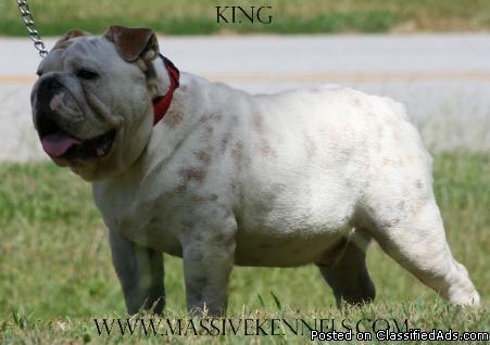 Englishbulldog - Price: 1500