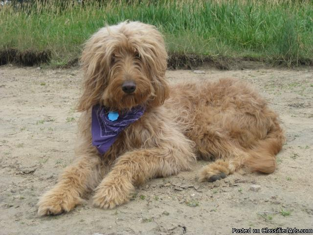 F1b Goldendoodle Puppies Price 1000 For Sale In