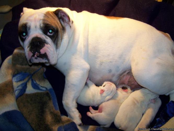 Gorgeous AKC English Bulldog Male Puppies for Sale.