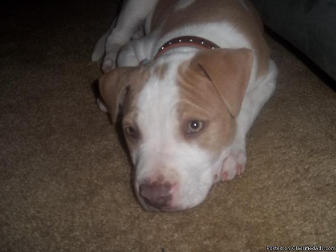 Gorgeous green-eyed 6mth old rednose pit - Price: 175.00(o.b.o)