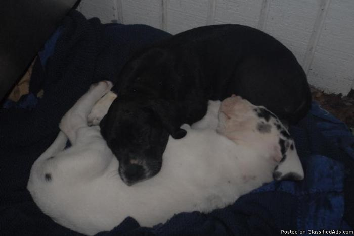 Great Dane puppies - Price: $900