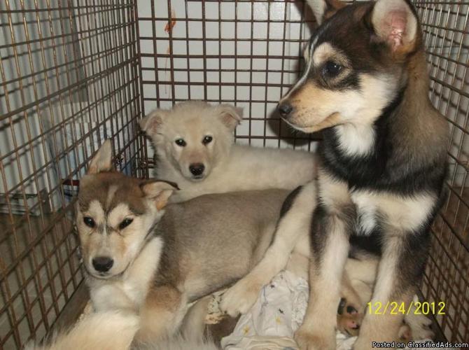 Husky wolf hybrids - Price: $275