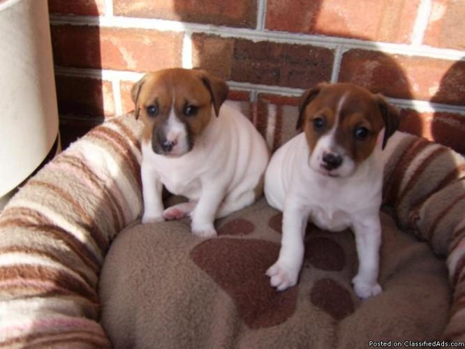 Jack Russell Puppies - Price: $200 each
