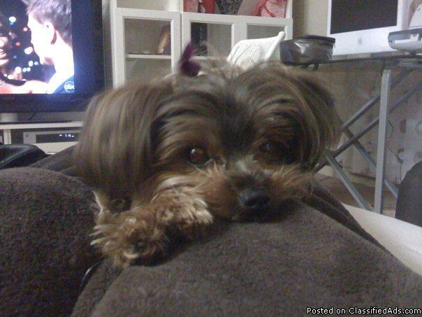 LOST Yorkshire Terrier- female- on 7/3
