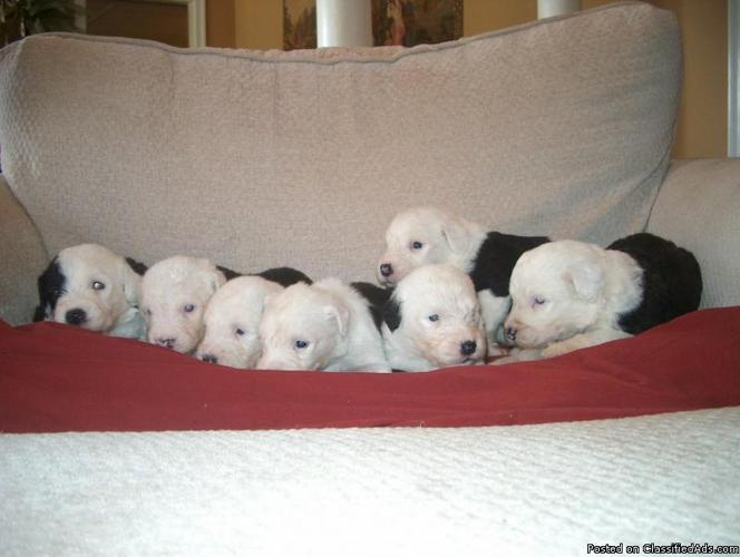 Old English sheepdog pups,AKC- - Price: $550-650 for sale in