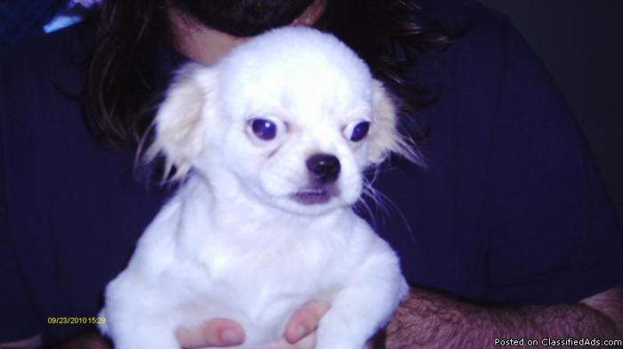 Pekingese pup - Price: 125.00