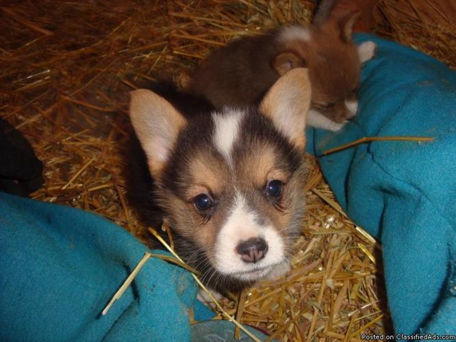 Pembroke Welsh Corgi Puppies Price 275 For Sale In Bismarck