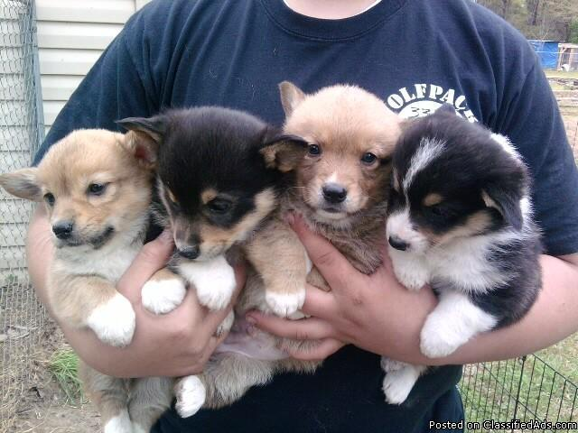 Mini Corgi Puppies For Sale >> Pembroke Welsh Corgi Pups Price 300 350 For Sale In El