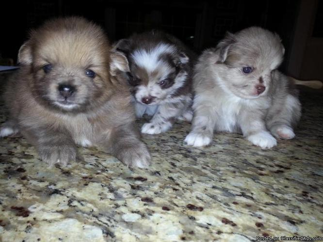 Pomeranian Puppies 6 weeks old