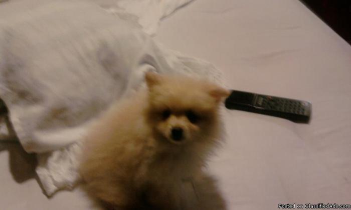Pomeranian Pups - Price: 150.00