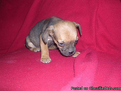 puggle puppies for sale - Price: 150
