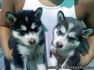 Purebred Siberian Husky Puppies - Price: 700