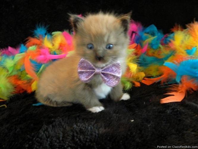 Ragdoll Kittens TICA Reg Rare Colors for sale in Mulberry, Arkansas