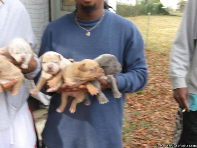 RARE BLUE MERLE BULLY PITBULL PUPPIES 4 SALE - Price: 200 00