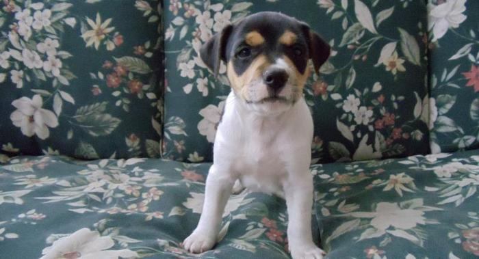Rat Terrier Puppy For sale