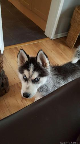 Reluctant Siberian husky puppies available.