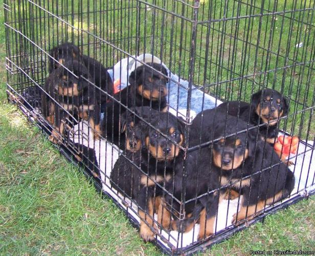 Rottweiler Puppies ready to go - Price: $325