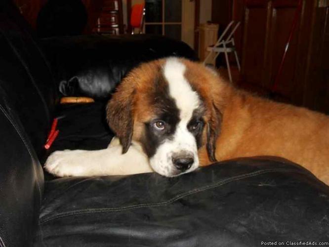 Saint Bernard Male Puppy - Price: 400