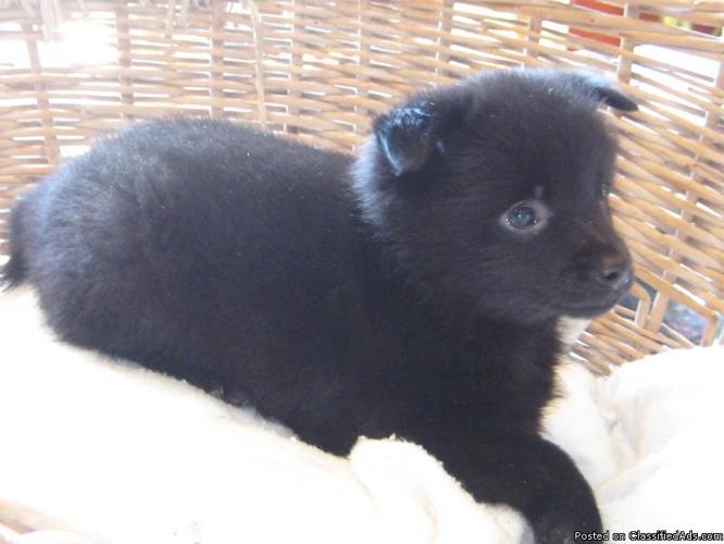 Schipperke puppies - Price: $400.00