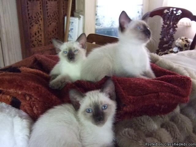 Siamese kittens for sale - Price: $450 00 for sale in Mount
