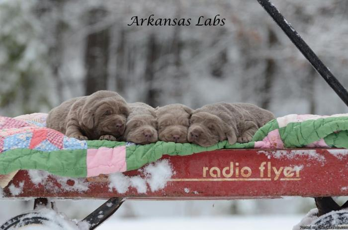 Silver labs puppies