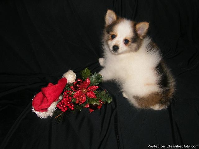Small Pomeranian Puppies - Price: 450.00
