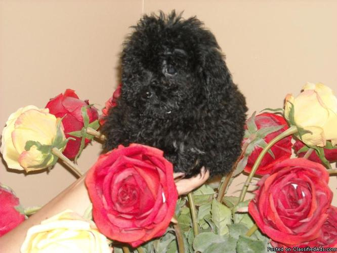 TEACUP MALTESE/POODLE MALE REDUCED - Price: 499