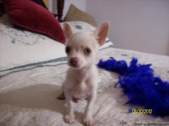 Tiny little male chihuahua pup Est full growth 2.5 to 3 lbs Health guarenteed! - Price: 350.00